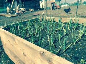 Asparagus, Potatoes, Rhubarb and More- 2