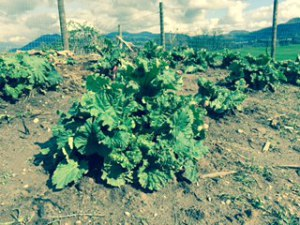 Asparagus, Potatoes, Rhubarb and More -3